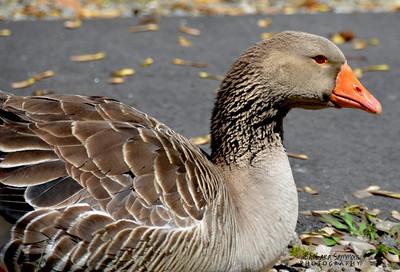 Graylag Goose ~ Lake Junaluska, NC