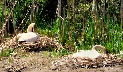 Mute Swan ~ Lake Junaluska, NC