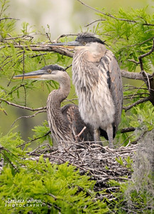 Great Blue Heron ~ Audubon Swamp Garden