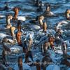 Waterfowl Choptank River 29 Dec 2018-5289