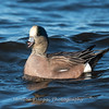 Waterfowl Choptank River 29 Dec 2018-5079