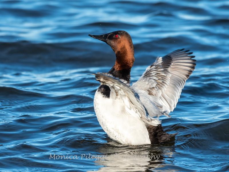 Waterfowl Choptank River 29 Dec 2018-5124