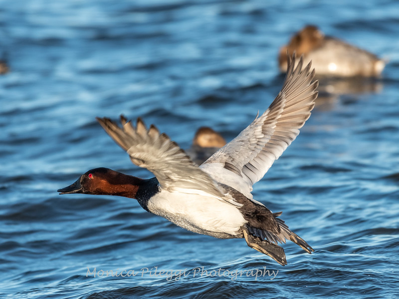 Waterfowl Choptank River 29 Dec 2018-5206