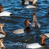 Waterfowl Choptank River 29 Dec 2018-5045
