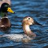 Ducks 6 January 2019-6209