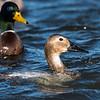 Ducks 6 January 2019-6208