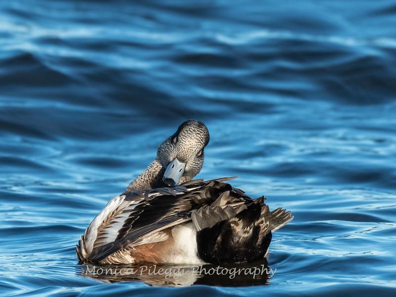 Waterfowl Choptank River 29 Dec 2018-5232