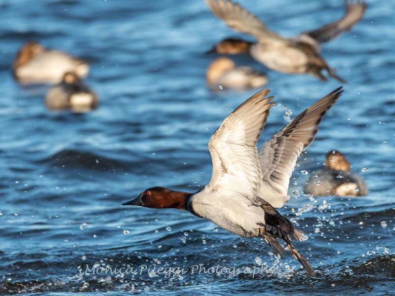 Waterfowl Choptank River 29 Dec 2018-5198