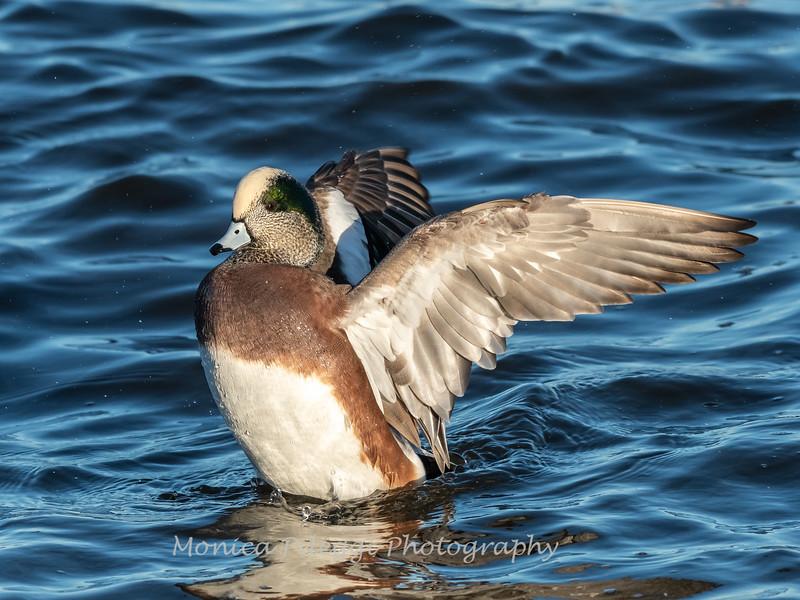Waterfowl Choptank River 29 Dec 2018-5257