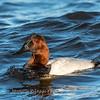 Waterfowl Choptank River 29 Dec 2018-5183