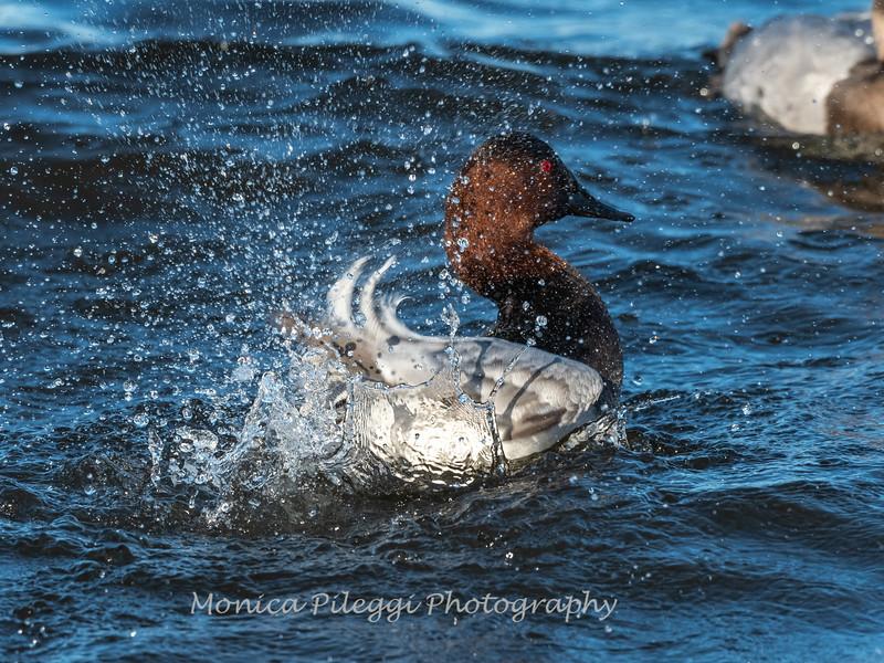 Waterfowl Choptank River 29 Dec 2018-5092