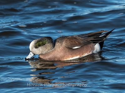 Waterfowl Choptank River 29 Dec 2018-5051