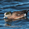 Waterfowl Choptank River 29 Dec 2018-5051