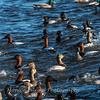 Waterfowl Choptank River 29 Dec 2018-5165