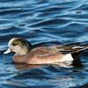 Waterfowl Choptank River 29 Dec 2018-5049