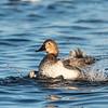 Ducks 6 January 2019-6726