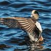 Waterfowl Choptank River 29 Dec 2018-5255