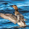 Waterfowl Choptank River 29 Dec 2018-5109