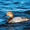 Waterfowl Choptank River 29 Dec 2018-5113
