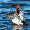 Waterfowl Choptank River 29 Dec 2018-5123