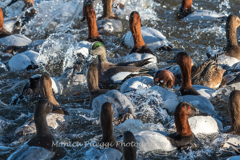 Waterfowl Choptank River 29 Dec 2018-5162