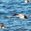Waterfowl Choptank River 29 Dec 2018-5194