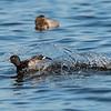 Ducks 6 January 2019-6369