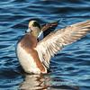 Waterfowl Choptank River 29 Dec 2018-5254