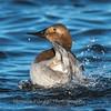 Waterfowl Choptank River 29 Dec 2018-5100