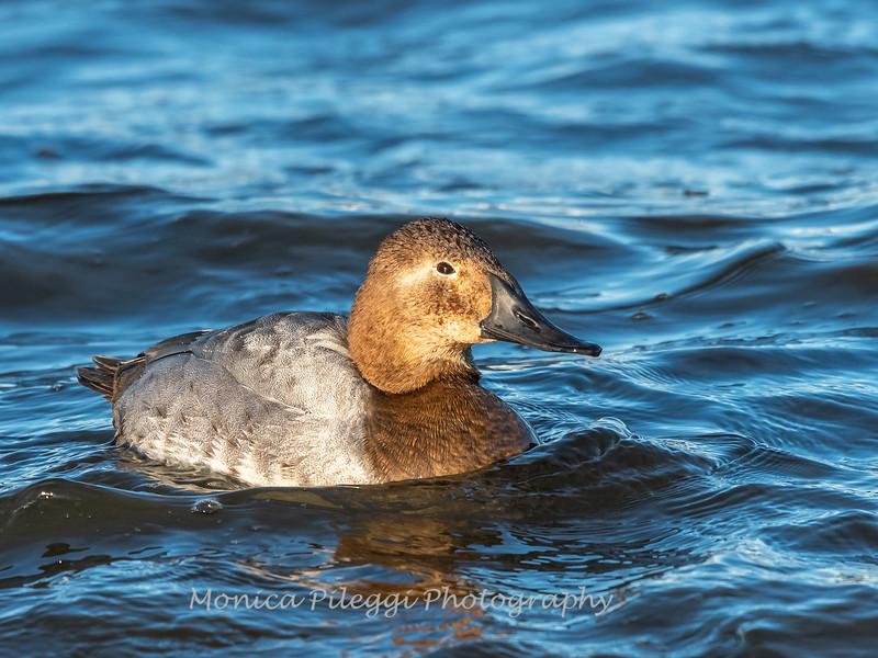 Waterfowl Choptank River 29 Dec 2018-5160