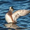 Waterfowl Choptank River 29 Dec 2018-5252