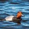 Waterfowl Choptank River 29 Dec 2018-5157