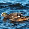 Waterfowl Choptank River 29 Dec 2018-5111