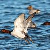 Waterfowl Choptank River 29 Dec 2018-5203