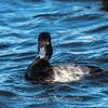 Waterfowl Choptank River 29 Dec 2018-5058
