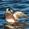 Waterfowl Choptank River 29 Dec 2018-5258