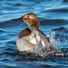 Waterfowl Choptank River 29 Dec 2018-5102