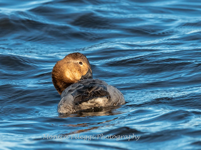 Waterfowl Choptank River 29 Dec 2018-5098