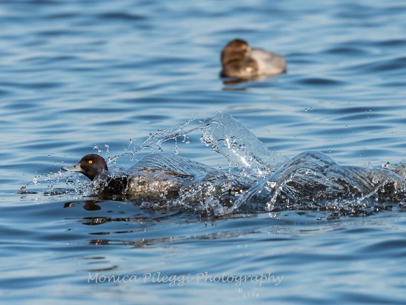 Ducks 6 January 2019-6370