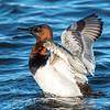 Waterfowl Choptank River 29 Dec 2018-5131