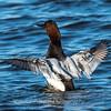 Waterfowl Choptank River 29 Dec 2018-5070