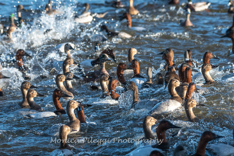 Waterfowl Choptank River 29 Dec 2018-5166