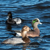 Waterfowl Choptank River 29 Dec 2018-5047
