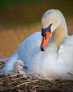 Adoration from it's mother on day one of this Swan's life. Photo Captured in Viera Florida.