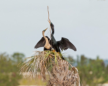 Anhinga's engage in nest building with the lure on their eyes.