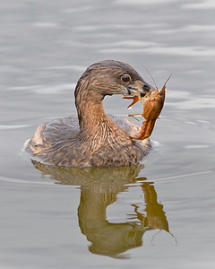 Pied-billed Grebe displays it's catch of a crayfish.