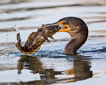 Cormorant attempt's to eat this Mother in Law(Cabezon) fish. Photo captured in the Thousand Islands of Cocoa Beach.