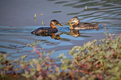 Red-necked grebe chick takes full possession of the fish from the adult male.