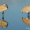 Sleeping Sandhill Cranes, Bosque Del Apache National Wildlife Refure