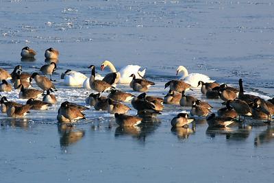 Mute Swans on Lake MI, WI